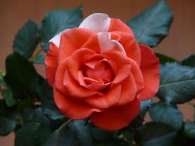 barwy narodowe - bioało-czrewone