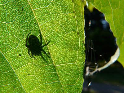 Zdjęcie pająka zaliściem