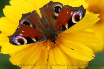 Motyl nakwiatku #3