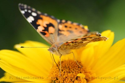 Motyl nakwiatku #1