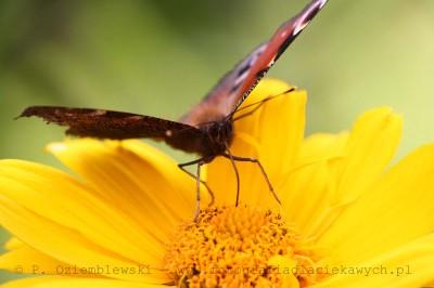 Motyl nakwiatku #2