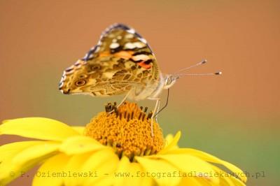 Motyl nakwiatku #4