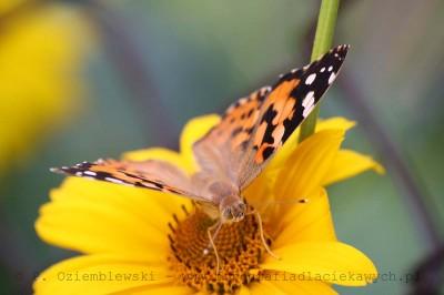 Motyl nakwiatku #5