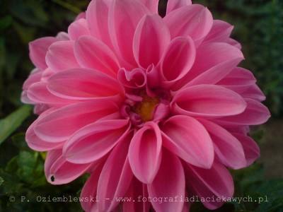 Kwiat - zdjęcie makro komórką SE K800i