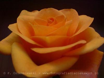 Róża - zdjęcie makro komórką SE K800i