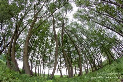 Zdjęcia drzew - obiektyw rybie oko Samyang 8mm #2