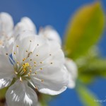 Kwiaty wiśni