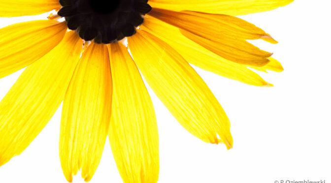 Jak zrobić idealnie białe tło do zdjęć kwiatów?