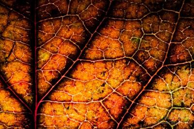 Makro zpodświetlonym barwnym liściem