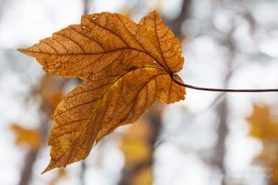 Jesienny liść przy małej głębi ostrości