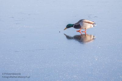 Zdjęcia zimy - kaczka nalodzie