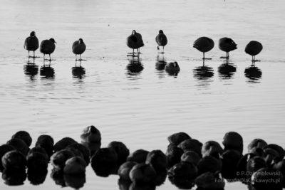 Zdjęcia zimy - zgrupowanie kaczek