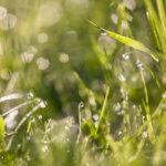 Krople rosy przy małej głebi ostrości