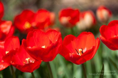 Grupa tulipanów