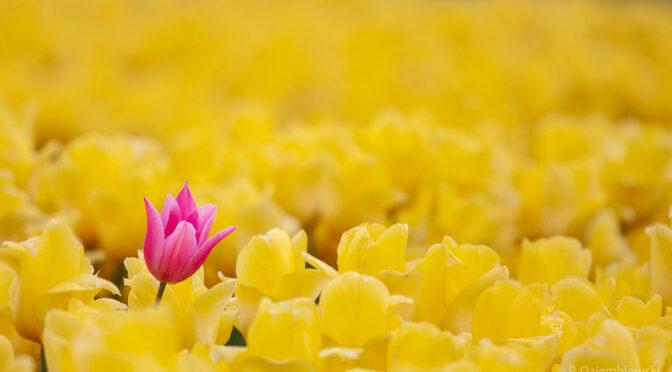 Pola tulipanów aż po horyzont – nie tylko w Holandii