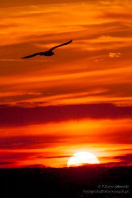 Zachód słońca zsylwetką mewy