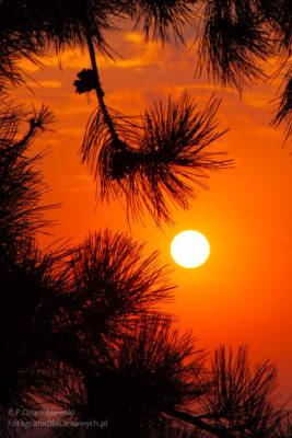 Słońce między gałęziami sosny