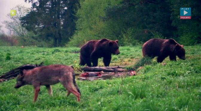 Jak sfotografować niedźwiedzia w Bieszczadach