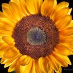 Kompozycja centralna w fotografii - słonecznik
