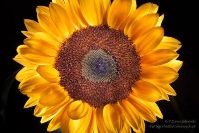 Kompozycja centralna wfotografii - słonecznik