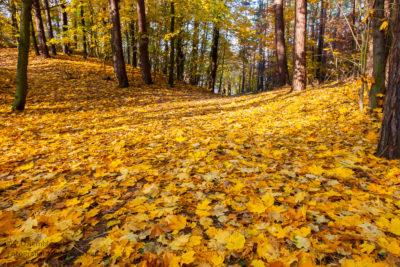 Duży obszar zasypany liśćmi