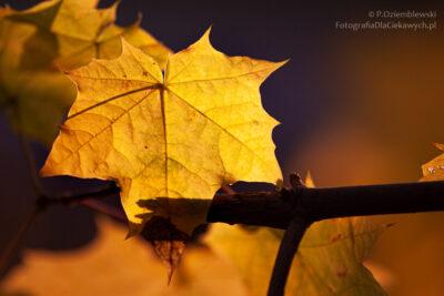 Podświetlony liść naciemnym tle przy małej głębi ostrości