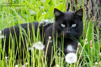 Kot znasionami mniszka lekarskiego
